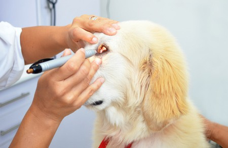 vet checking dogs eye