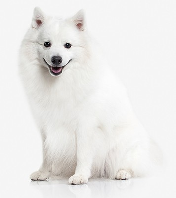 Japanese white spitz dog