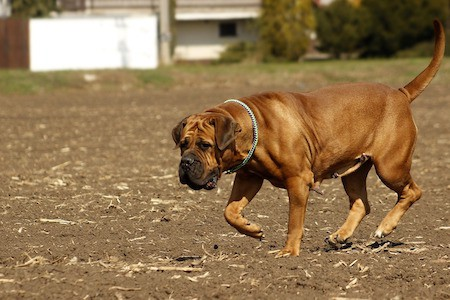 boerboel walking