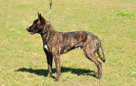 dutch shepherd 1