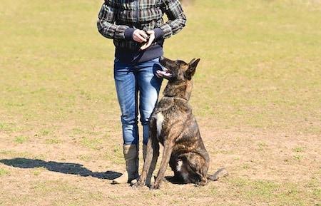 dutch shepherd 2