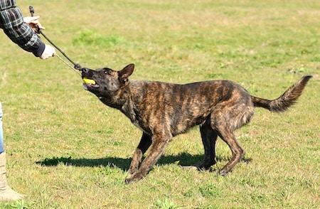 dutch shepherd 3