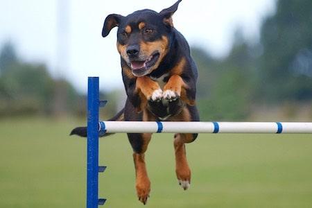 huntaway jumping