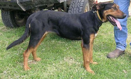 New Zealand huntaway dog