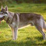 northern inuit dog standing