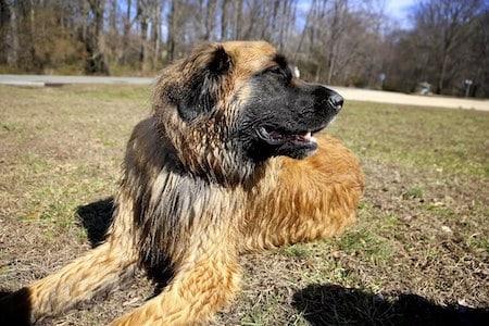 Estrela Mountain Dog 1