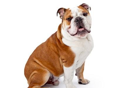 old tyme bulldog sitting
