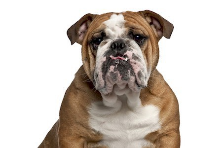 old tyme bulldog 2