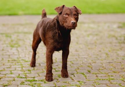 Patterdale terrier staring