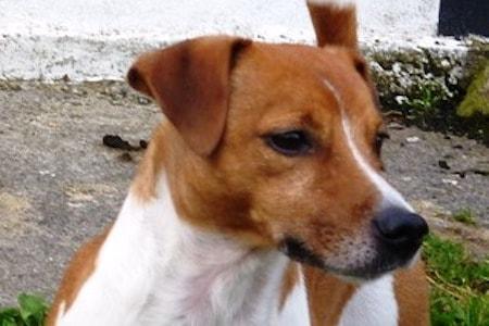 Plummer Terrier head