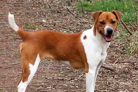Plummer Terrier standing