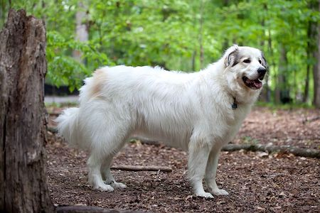 Pyrenean Mountain Dog in trees