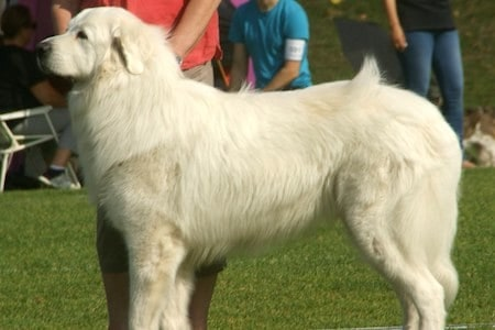 Pyrenean Mountain Dog at show