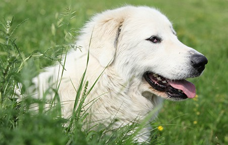 Pyrenean Mountain Dog in grass