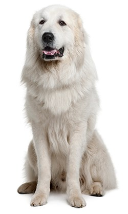 Pyrenean mountain dog sitting