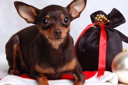 Russian Toy Terrier next to bag
