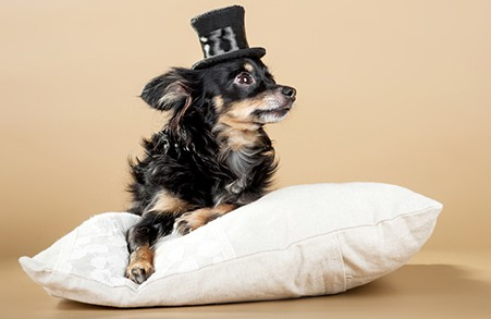 Russian toy terrier with hat on