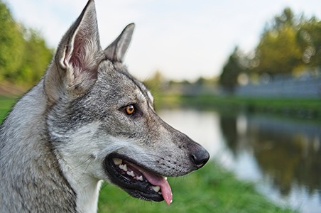 Saarloos Wolf Dog beside river