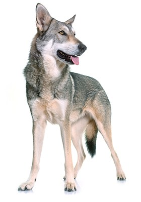 Saarloos Wolf Dog standing