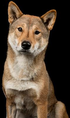 Shikoku dog Portrait