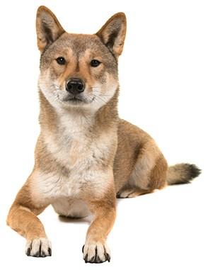Shikoku dog facing camera