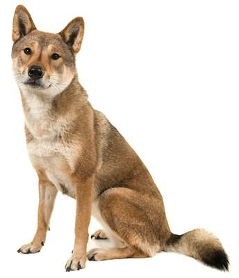 Shikoku dog sitting