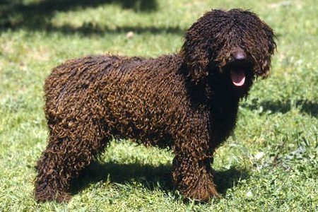 Spanish Water Dog 1