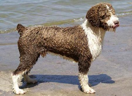 Spanish Water Dog 3