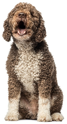 Spanish water dog barking