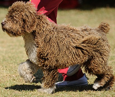 Spanish water dog running