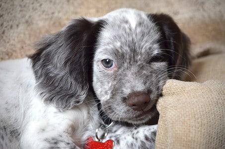 Sprocker Spaniel puppy