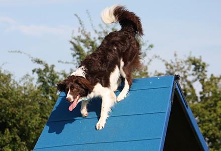 Sprollie doing agility course
