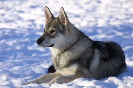 Tamaskan Dog lying in snow