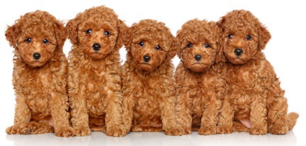 Tea Cup Toy Poodle puppies