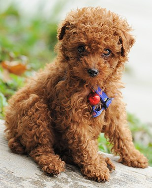 Tea Cup Toy Poodle puppy