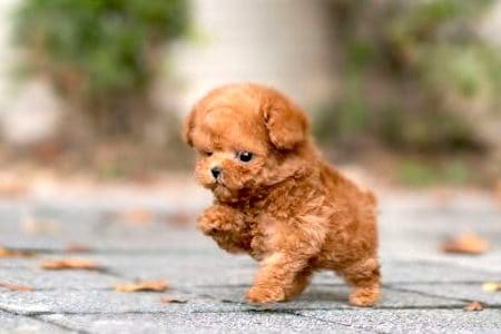 tiny Teacup Poodle puppy