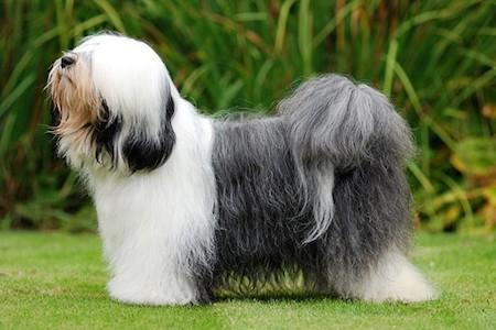 Tibetan Terrier 1