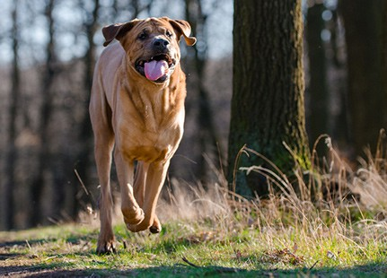 Tosa Inu running through park