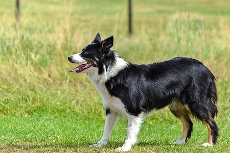 Welsh Collie 1