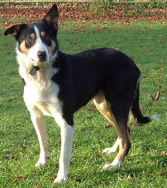 Welsh Sheepdog standing