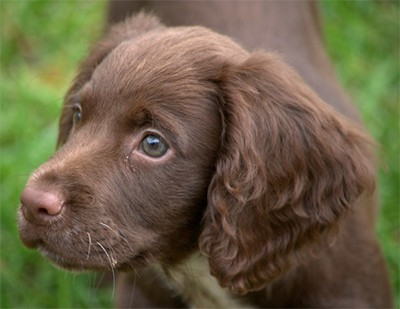 Young Sprocker Spaniel