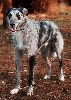 lurcher dog in woods