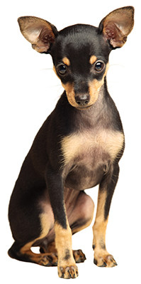 russian toy terrier sitting