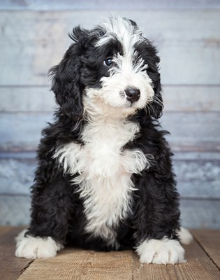 Bernedoodle puppy sitting