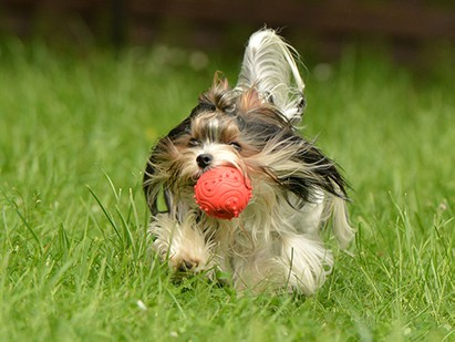 Biewer Terrier playing with a ball