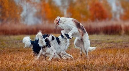 Borzoi dogs playing