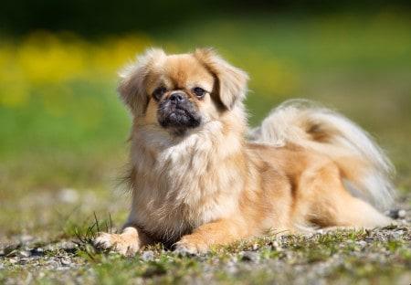 Tibetan Spaniel dog sitting on grass