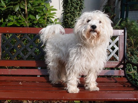 Westiepoo dog standing on a bench