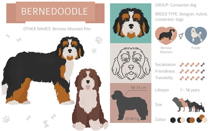 bernedoodle facts