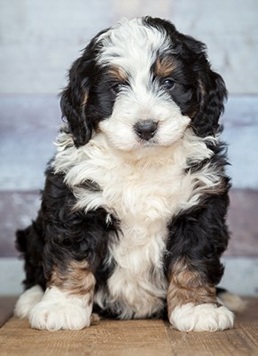bernedoodle puppy in mixed colors